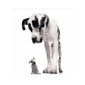 Купить сухой корм Royal Canin (Роял Канин) для взрослых собак гигантских пород в зоомагазине Zoolife.by